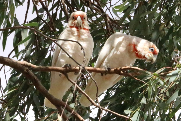 Gas guns being used to deter corellas