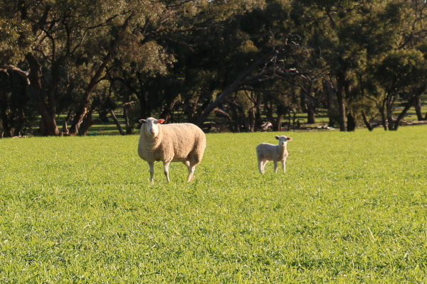 Pain relief for sheep mulesing mandatory from 1 July